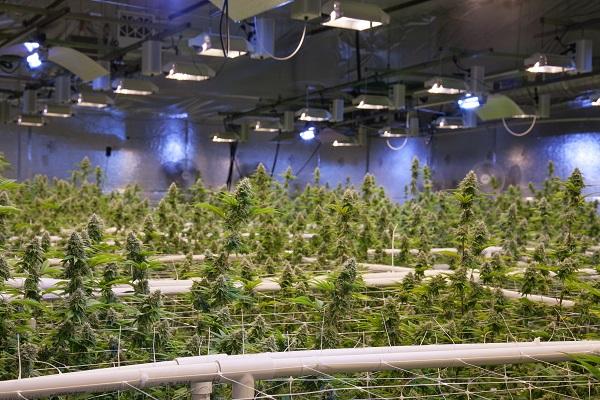 Cannabis Social Club Trekt Uw Plant